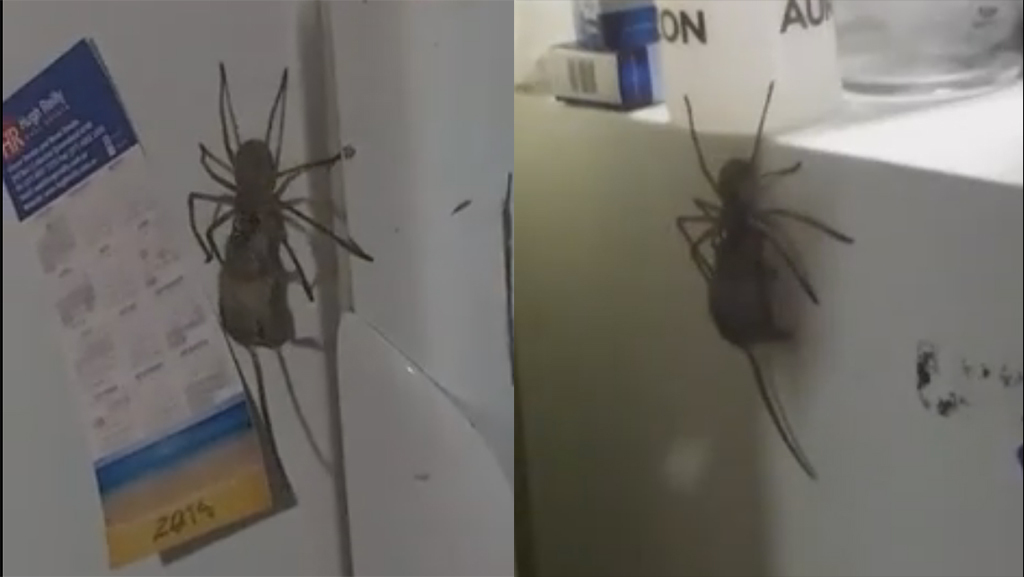 Поймавший мышь немалый паук шокировал пользователей Сети