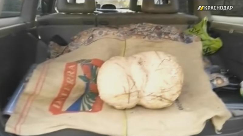 ВКраснодаре отыскали 9-килограммовый гриб-дождевик