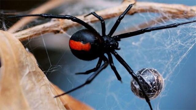 ВАвстралии ядовитый паук два раза укусил мужчину заего преимущество