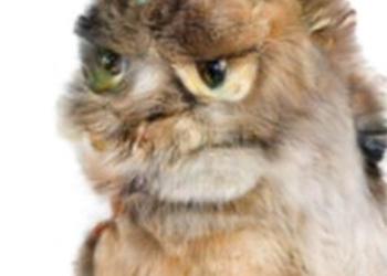 Порода больших кошек гигантские домашние любимцы  KotPes